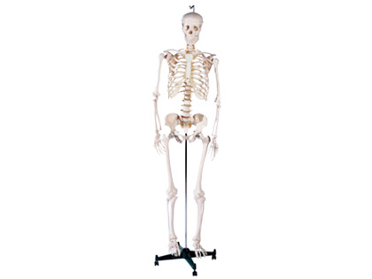 Win a Life Size Skeleton Model!!