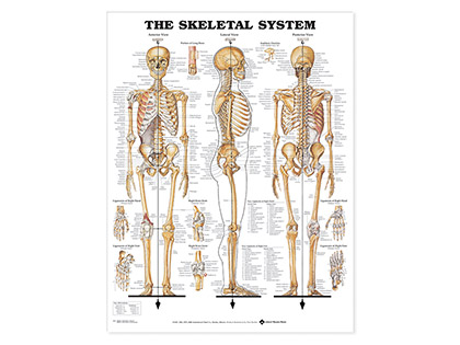 Laminated Anatomical Wallcharts