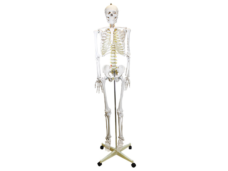 Lifesize Skeleton Anatomical Model