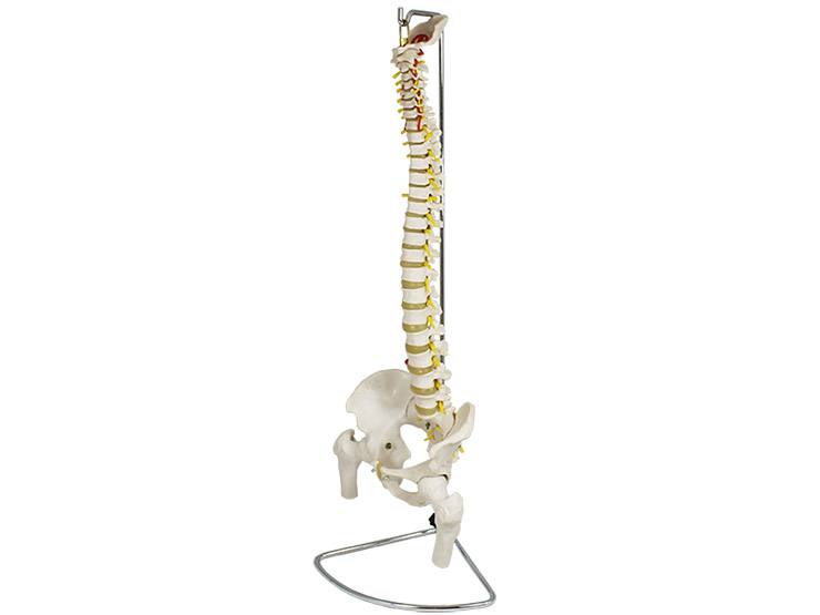 Spine with Femur Heads Anatomical Model