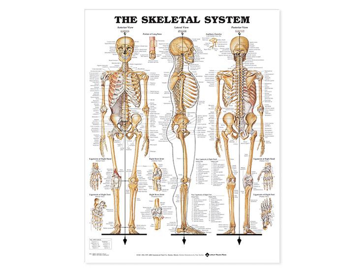 Laminated Anatomical Wallcharts